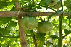 Tomato vine Stock Photography