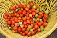 Tomato vine. From the market Royalty Free Stock Image