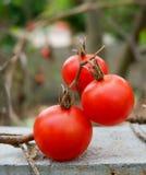 Tomato on the vine Royalty Free Stock Image