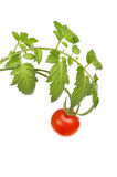 Tomato vine Royalty Free Stock Images