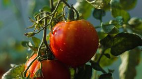 Tomato with water droplets stock photo