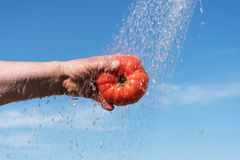 Tomato and water. Stock Photography