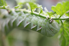 Tomato worm on plant Royalty Free Stock Photo