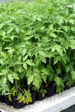 Tomato young plant. In green house Royalty Free Stock Image