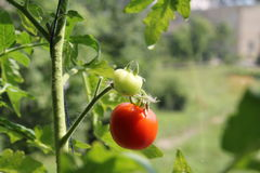 Tomatoe. Green and red tomatoe in the garden Stock Image
