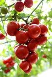 Tomatoe Royalty-vrije Stock Afbeelding