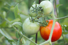 Tomatoe Abschluss oben Lizenzfreies Stockbild