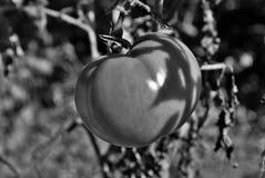 Tomatoe en la vid Imágenes de archivo libres de regalías