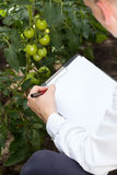 Tomatoe expert in a greenhouse Stock Images