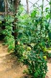 Tomatoe Feld Stockbild