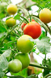 Tomatoe Royalty Free Stock Photos