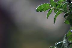 tomatoe liść Fotografia Stock
