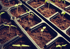 Tomatoe seedlings Stock Photos