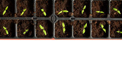 Tomatoe seedlings Stock Photo