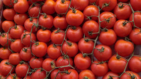 Tomatoes. Closeup view of multiple ripe tomatoes still attached to vines Royalty Free Stock Photo