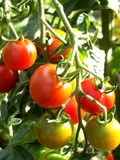 Tomatoes 11. A tomatoe plant with some ripe and unripe tomatoes Stock Photos