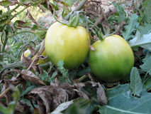 Tomatoes. Close up of green tomatoes Stock Images