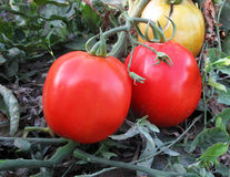 Tomatoes. Close-up of ripe tomatoes in farm Royalty Free Stock Images