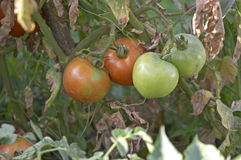 Tomatoes. Some green and red tomato's stock photo