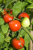 Tomatoes. Growing in the garden Royalty Free Stock Image