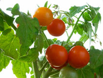 Tomatoes. Nature Royalty Free Stock Photos