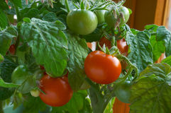 Tomatoes. Nature Royalty Free Stock Images