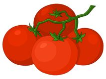Tomatoes. Cluster red fresh tomatoes on a green branch Royalty Free Stock Images