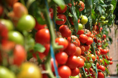 Free Tomatoes Royalty Free Stock Image - 20359776