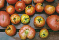 Tomatoes. Home grown tomatoes grown with no usage of pesticides Royalty Free Stock Photography