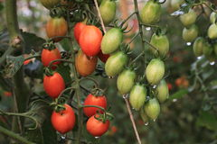 Tomatoes. Green and red tomatoes in farm Royalty Free Stock Photography