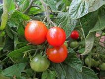 Tomatoes Stock Image