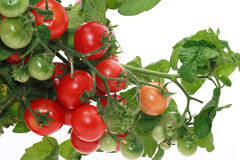 Tomatoes. Plant full with delicious tomatoes royalty free stock image