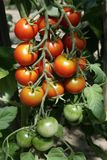 Tomatoes. Color Tomatoes on the Vine Royalty Free Stock Photos
