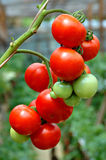 Tomatoes. Bunch of tomatoes Stock Images