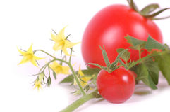 Tomatoes. With flower on white Stock Images