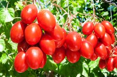 Tomatoes. Decorations made from rips of fresh red tomatoes Royalty Free Stock Images