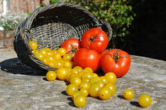 Yellow and Red Tomatoes stock image