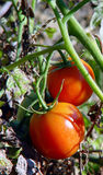 Fresh Tomatoes fruits. Two Fresh red tomatoes fruits on the tomato plant Royalty Free Stock Photos