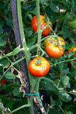 Tomatoes. Red natural tomatoes on tomato plant in the vegetable garden Stock Image