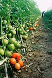 Tomatoes. About to harvest tomatoes, farmers are busy with work Royalty Free Stock Image
