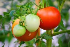 Free Tomatoes Stock Photo - 8232230