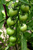 Tomatoes. A bunch of tomatoes Royalty Free Stock Photos