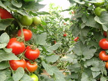 Tomatoes on Almeria greenhouse. Tomatoes on the plant grown in a greenhouse in Almeria Stock Photos