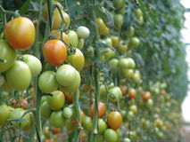 Tomatoes on Almeria greenhouse. Stock Images