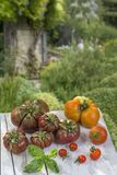 Tomatoes, ancient varieties of various tomatoes on exterior garden background Royalty Free Stock Images