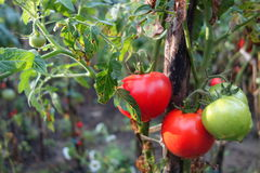 Tomatoes in autumn. Tomatoes from the crop in autumn Royalty Free Stock Photos