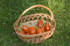 Tomatoes basket. Basket of freshly picked tomatoes on green grass background Stock Photography