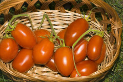 Tomatoes in a basket. Basket of freshly picked tomatoes on green grass background Royalty Free Stock Photos