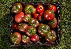 Tomatoes in basket. Freshly picked tomatoes in a wicker basket Royalty Free Stock Photos