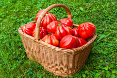 Tomatoes in the basket Royalty Free Stock Image